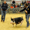 Kate Birkenfeld, from Timberlake FFA, exhibits her Berkshire barrow and wins the championship during the 80th annual Northwest District Junior Livestock Show at the Chisholm Trail Expo Center Saturday, March 8, 2014. (Staff Photo by BONNIE VCULEK)