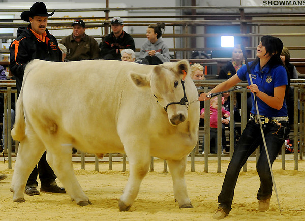 An exhibitor has difficulty moving her steer around the show ring during the 80th Northwest District Junior Livestock Show at the Chisholm Trail Expo Center Friday, March 7, 2014. (Staff Photo by BONNIE VCULEK)