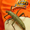 A Malaysian Jungle Nymph crawls up Andrine Shufran's arm during the OSU Insect Adventure at Waller Middle School Tuesday, March 11, 2014. (Staff Photo by BONNIE VCULEK)