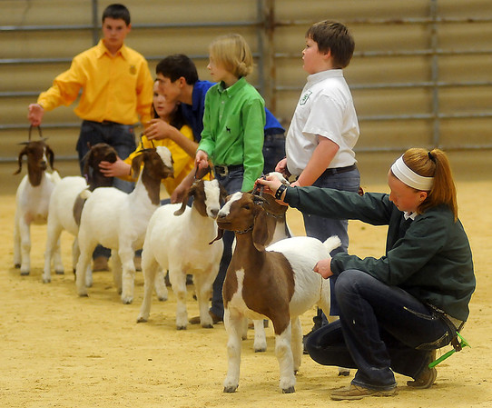 Taylor Parrish, from Kremlin-Hillsdale 4-H, stacks her Class II doe goat after placing first and winning the class showmanship award during the 80th annual Northwest District Junior Livestock Show at the Chisholm Trail Expo Center Thursday, March 6, 2014. (Staff Photo by BONNIE VCULEK)