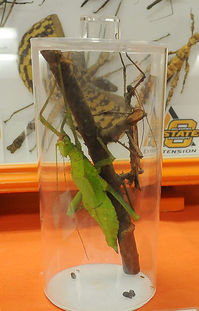 A female Malaysian Jungle Nymph can reach lengths of 7 inches, while males are much smaller and can fly. Andrine Shufran, the Insect Adventure coordinator for Oklahoma State University Extension Center, displayed exotic insects to Waller Middle School Students Tuesday, March 11, 2014. (Staff Photo by BONNIE VCULEK)