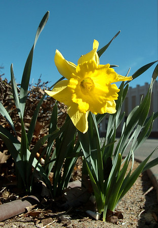 A blooming daffodil on  the corner of Randolph and Grand marks a sure sign of Spring. (Staff Photo by BILLY HEFTON)