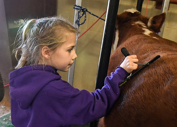 Aubree Geisler, from Loyal, combs her cow at the Northwest District Junior Livestock Show Wednesday March 1, 2017 at the Chisholm Trail Expo Center. (Billy Hefton / Enid News & Eagle)
