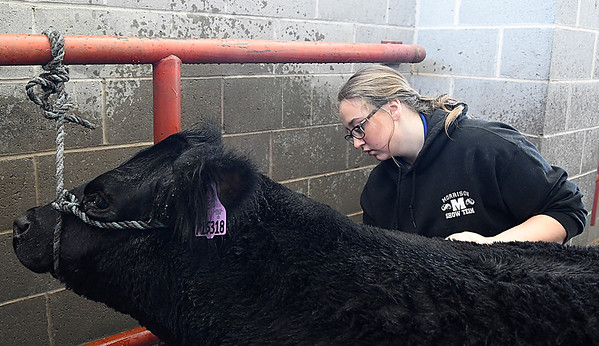 Karleigh Clinkbeard, from Morrison, washes her cow at the Northwest District Junior Livestock Show Wednesday March 1, 2017 at the Chisholm Trail Expo Center. (Billy Hefton / Enid News & Eagle)