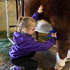 Aubree Geisler, from Loyal, brushes her cow at the Northwest District Junior Livestock Show Wednesday March 1, 2017 at the Chisholm Trail Expo Center. (Billy Hefton / Enid News & Eagle)