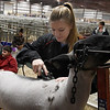Bree Kisling, from Chisholm, grooms her lamb for the Garfield County Junior Livetsock Show at the Chisholm Trail Expo Center Friday March 1, 2019. (Billy Hefton / Enid News & Eagle)