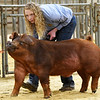Maysie Couchman, from Chisholm, shows her duroc pig during the Garfield County Junior Livetsock Show at the Chisholm Trail Expo Center Friday March 1, 2019. (Billy Hefton / Enid News & Eagle)