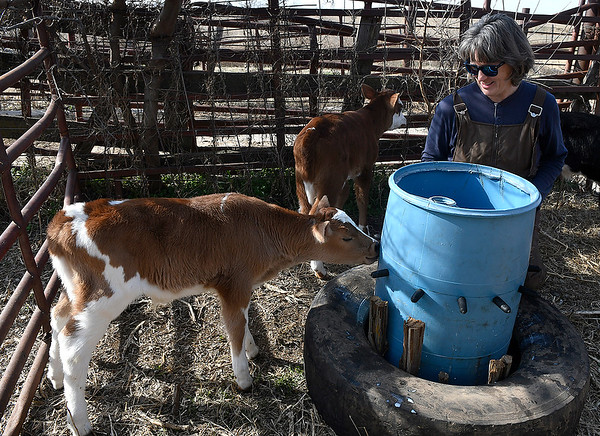 Barbara Crain gets a young calf to drink milk from a barrel at Wagon Creek Creamery Friday March 22, 2019. (Billy Hefton / Enid News & Eagle)