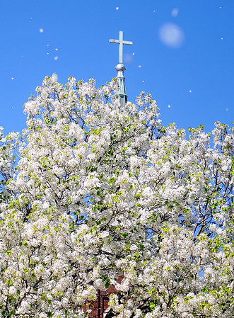 Pear Tree Blossoms