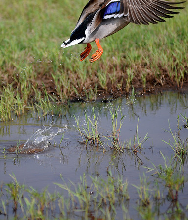 Water splashes as a duck takes flight Friday, May 10, 2013. (Staff Photo by BONNIE VCULEK)
