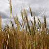 Wheat fields are turning as the harvest is approaching. (Staff Photo by BILLY HEFTON)