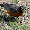 A red-breasted robin glances up before he devours an earthworm Wednesday, May 8, 2013. (Staff Photo by BONNIE VCULEK)