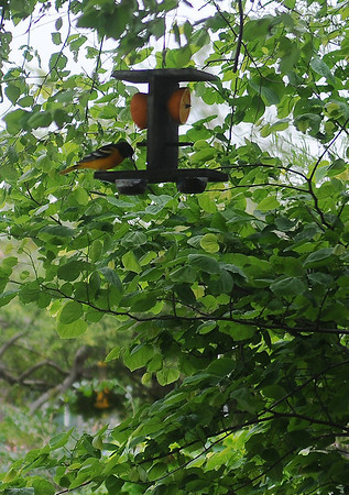 An Oriole enjoys a tasty treat in the back yard garden at Jon and Diane Ford's home, 3619 Willow Lake Lane, Thursday, May 23, 2013. (Staff Photo by BONNIE VCULEK)