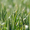 Experts indicate that this year's wheat crop has been damaged by freezing temperatures. (Staff Photo by BONNIE VCULEK)
