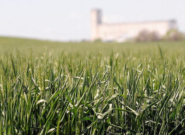Johnston B. Grain, part of Johnston Enterprises, looms in the background near a damaged wheat field on N. 42nd Street. Experts indicate that this year's wheat crop has been damaged by freezing temperatures. (Staff Photo by BONNIE VCULEK)