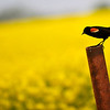 A red winged blackbird sits on a post along south Oakwood Rd. Wednesday. (Staff Photo by BILLY HEFTON)