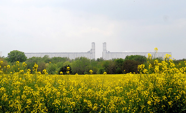 ADM Milling looms in the background near an acreage of canola northeast of Enid Thursday, Mary 16, 2013. (Staff Photo by BONNIE VCULEK)