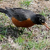 A red-breasted robin feasts on an earthworm Wednesday, May 8, 2013. (Staff Photo by BONNIE VCULEK)