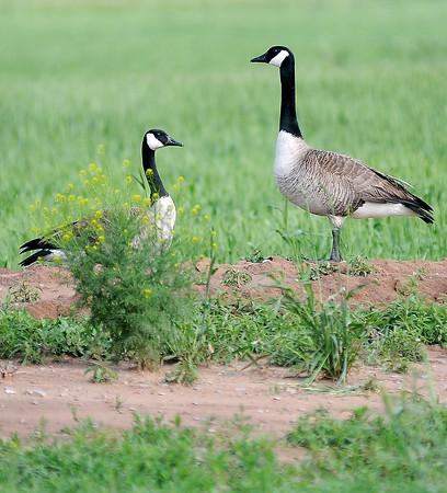 Geese stay alert near Prairieview Elementary School Friday, May 10, 2013. (Staff Photo by BONNIE VCULEK)