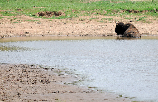An American Bison cools off in a shallow pond south of Enid Thursday, May 29, 2014. In spite of rainfall the early part of the week, drought conditions continue as area farm ponds reach critically low water levels. Alternative water sources may be needed for livestock. (Staff Photo by BONNIE VCULEK)