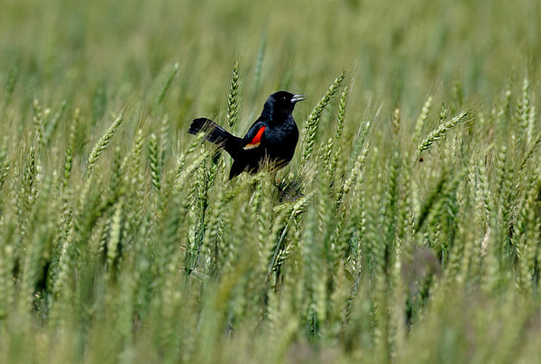 A red-winged black bird sits in wheat field along north 78th street Tuesday May 10, 2016. (Billy Hefton / Enid News & Eagle)
