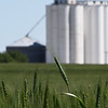 Wheat field near Carrier Tuesday May 2, 2017. (Billy Hefton / Enid News & Eagle)