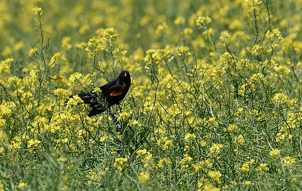 A red-winged blackbird sits in a canola field near Carrier Tuesday May 2, 2017. (Billy Hefton / Enid News & Eagle)