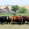 News Front Cattle Insurance