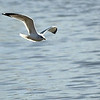 A gull looks for food as it sails over the water at Meadowlake Park Monday.(Staff Photo by BILLY HEFTON)