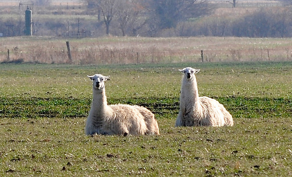 A pair of llamas spend a lazy afternoon resting in a field east of Enid Thursday. (Staff Photo by BILLY HEFTON)