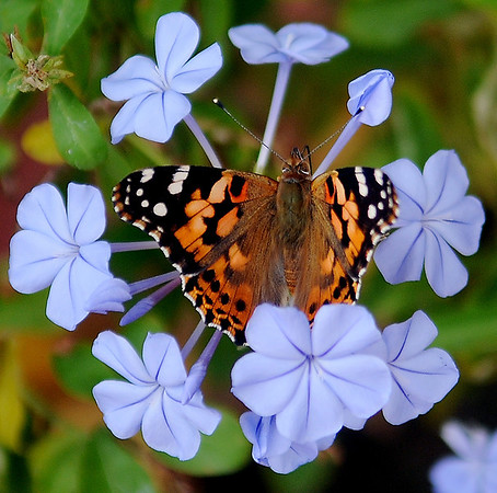 A brilliantly colored moth lands on a cluster of blooms Saturday at Elmstead, the home of Sherrel and Stephen Jones. (Staff Photo by BONNIE VCULEK)