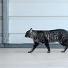 A stray cat enters a garage area near JB Liquor Saturday, Nov. 30, 2013. (Staff Photo by BONNIE VCULEK)