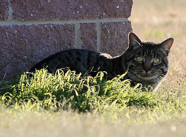 A stray cat rests near JB Liquor Saturday, Nov. 30, 2013. (Staff Photo by BONNIE VCULEK)