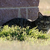 A stray cat rests near JB Liquor Saturday, Nov. 30, 2013. (Staff Photo by BONNIE VCULEK)