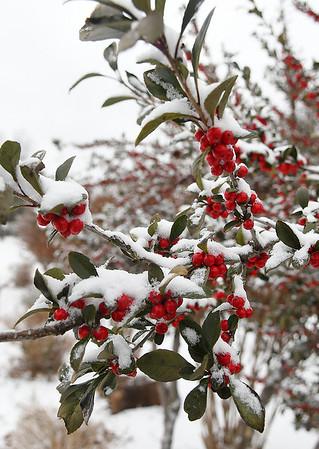 Snow covered berries at Dillingham Garden Monday November 12, 2018. (Billy Hefton / Enid News & Eagle)