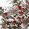 Snow covered berries at Dillingham Garden Monday November 12, 2018. (Billy Hefton / Enid News & Eagle)