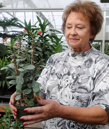Connie Smith, owner of Plants-a-Plenty holds a Crown of Thorns cactus Friday. Smith will donate several cacti to Virgil Nimrod at Midwest Cactus, whose business in Covington was devastated during an arson fire in July. (Staff Photo by BONNIE VCULEK)