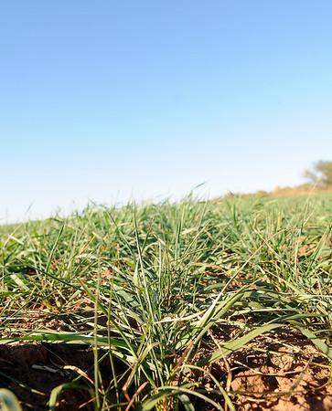 Rows of wheat fill a field near Enid Tuesday. (Staff Photo by BONNIE VCULEK)