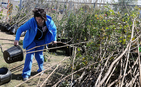 Bonita Goodpasture selects a maple during the annual Enid Tree Board tree Sale at the City of Enid Service Center Thursday. The sale continues Friday and Saturday until all of the trees are sold. (Staff Photo by BONNIE VCULEK)