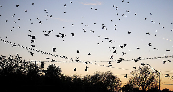 Thousands of birds take flight as others perch on high lines Wednesday in downtown Enid. (Staff Photo by BONNIE VCULEK)