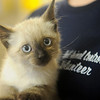 A Siamese kitten awaits adoption at Enid Animal Control's open house and ground-breaking ceremony Saturday. (Staff Photo by BONNIE VCULEK)