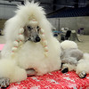 Vossa, a standard poodle owned by Leslie Weber and Sally Fletcher from Wichita, Kan., relaxes after a three and one-half hour grooming session in the Chisholm Trail Expo Center Coliseum Friday. Vossa competes Saturday in her first confirmation class at the Sooner State Kennel Club Dog Show. (Staff Photo by BONNIE VCULEK)