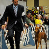 Brian Livingston moves Pharaoh Hound Ch. Faouziah's Faramir around the ring before he wins the Hound Group during the Sooner State Kennel Club Dog Show Saturday at the Chisholm Trail Expo Center Coliseum. Ch. Faouziah's Faramir is owned by Jennifer Mosing and Jenny Hall from Youngsville, LA. (Staff Photo by BONNIE VCULEK)