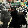 Michael Shepherd, an American Kennel Club certified handler, sets up Gordon Setter GCH CH Buteo's Midnight Silence during Sporting Group judging by Eugene Blake Saturday at the Sooner State Kennel Club Dog Show in the Chisholm Trail Expo Center Coliseum. (Staff Photo by BONNIE VCULEK)