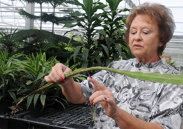 Connie Smith, owner of Plants-a-Plenty, discusses how night blooming cactus blade roots can quickly grow Friday. Smith will donate several cacti to Virgil Nimrod at Midwest Cactus. Nimrod's business in Covington was devastated during an arson fire in July. (Staff Photo by BONNIE VCULEK)