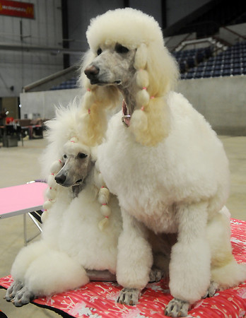 Vossa and Gabe (from left), standard poodles owned by Leslie Weber and Sally Fletcher from Wichita, Kan., wait patiently for a treat after three and one-half hours on a grooming table Friday prior to the Sooner State Kennel Club confirmation show Saturday at the Chisholm Trail Coliseum. (Staff Photo by BONNIE VCULEK)