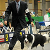 Brian Livingston moves Border Collie Ch. Borderfame Signature, owned by Kyle Mosing and Dionne Butt, from Youngsville, LA, around the Herding Group ring during the Sooner State Kennel Club Dog Show at the Chisholm Trail Expo Center Coliseum. Livingston placed first in Herding and Hound groups with his clients' champions before competing for Best In Show. (Staff Photo by BONNIE VCULEK)