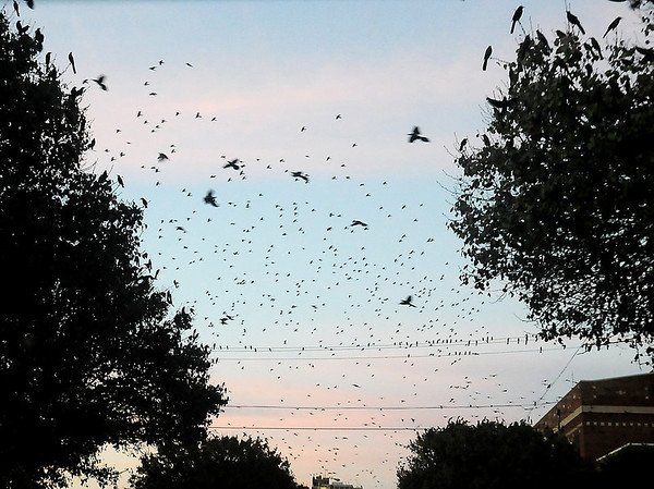 Thousands of birds take flight as others perch on high lines at dusk Wednesday in downtown Enid. (Staff Photo by BONNIE VCULEK)