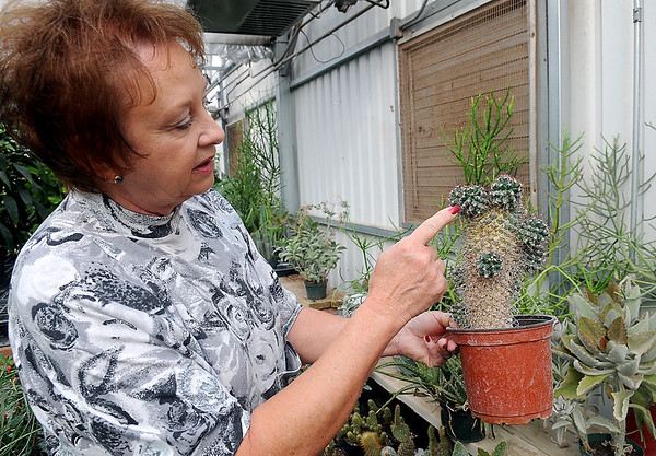 Connie Smith, owner of Plants-a-Plenty, discusses how cactus pups can be propagated Friday. Smith will donate several cacti to Virgil Nimrod at Midwest Cactus. Nimrod's business in Covington was devastated during an arson fire in July. (Staff Photo by BONNIE VCULEK)