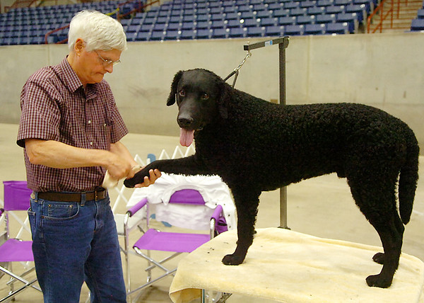Johnnie Grentry preps his curly coated retriever, Bramble, for the show ring Sunday during the Sooner State Kennel Club Dog Show at the Chisholm Trail Expo Center. (Staff Photo by BILLY HEFTON)
